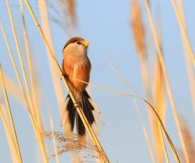 Rare Bird Species Reed Parrotbill Stock Photo