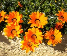 Resplendent orange flowers Stock Photo
