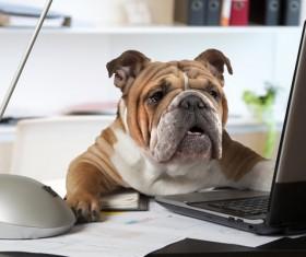 Shar Pei dog squatting on the table Stock Photo
