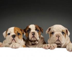 Shar Pei puppies Stock Photo 01