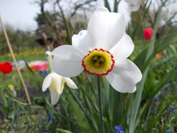 Spring blooming white daffodils Stock Photo