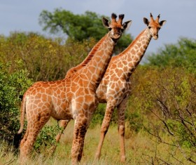 Two giraffes Stock Photo 01