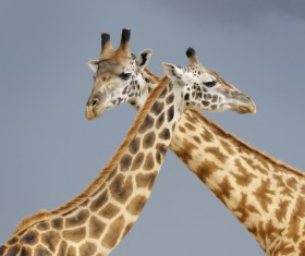 Two giraffes Stock Photo 02