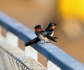 Two swallows on the terrace Stock Photo