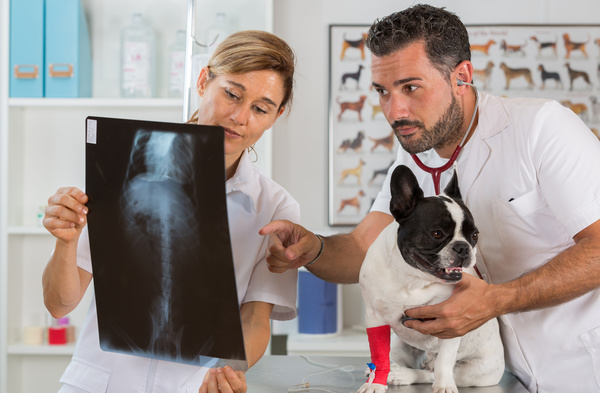 Veterinarian does a physical examination for puppy Stock Photo