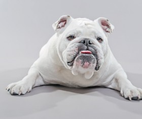 White Bulldog Stock Photo