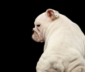 White Shar Pei Stock Photo 01