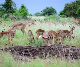 Wild antelope herd Stock Photo