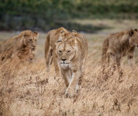 Wild lioness herd Stock Photo