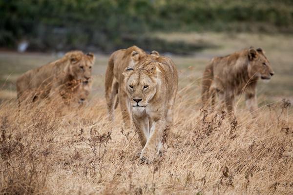 Wild lioness herd Stock Photo