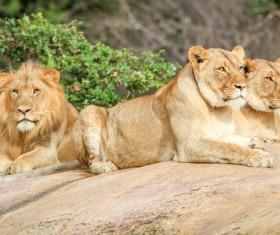 Wild lions Stock Photo 01