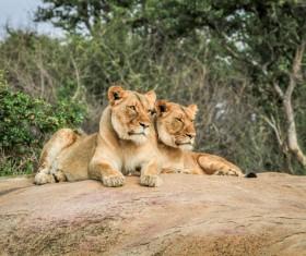 Wild lions Stock Photo 02