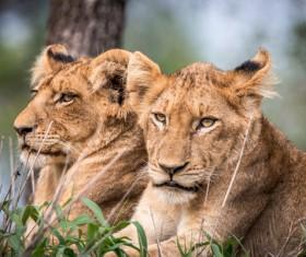 Wild lions Stock Photo 03