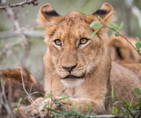 Wild lions Stock Photo 04