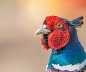 Wild pheasant head close-up Stock Photo 02