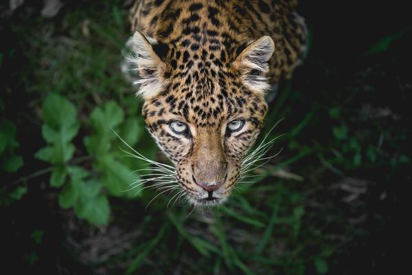 Wildlife Leopard Stock Photo
