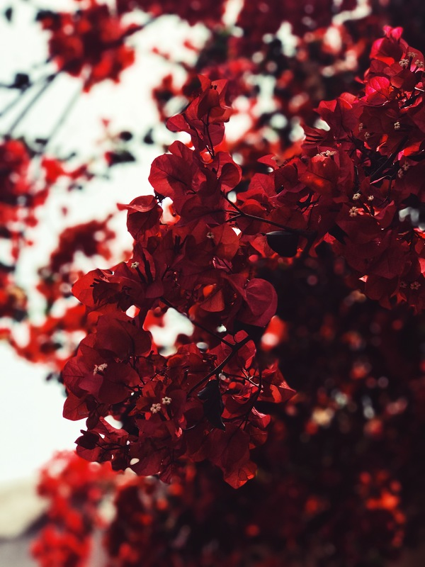 blooming red fresh flowers on tree Stock Photo