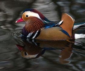 A beautifully feathered Mandarin bird Stock Photo (1)