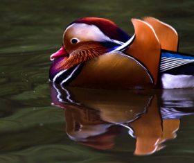 A beautifully feathered Mandarin bird Stock Photo (4)