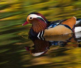 A beautifully feathered Mandarin bird Stock Photo (6)