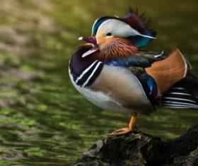 A beautifully feathered Mandarin bird Stock Photo (7)
