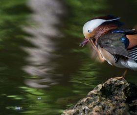 A beautifully feathered Mandarin bird Stock Photo (8)