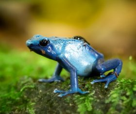 A blue frog Stock Photo