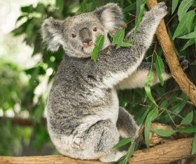 A cute little koala on banyan tree Stock Photo 01