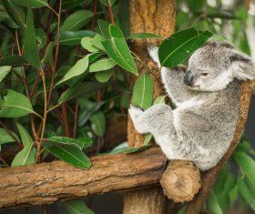 A cute little koala on banyan tree Stock Photo 02