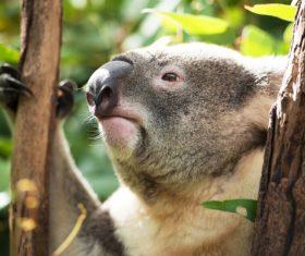 A cute little koala on banyan tree Stock Photo 03
