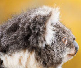 A cute little koala on banyan tree Stock Photo 04