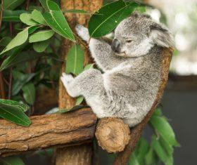 A cute little koala on banyan tree Stock Photo 05