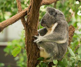A cute little koala on banyan tree Stock Photo 06