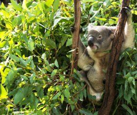 A cute little koala on banyan tree Stock Photo 07