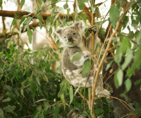 A cute little koala on banyan tree Stock Photo 08