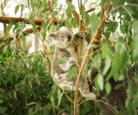 A cute little koala on banyan tree Stock Photo 09