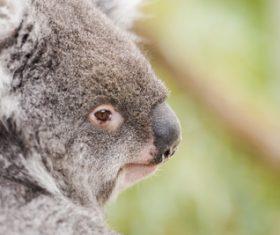 A cute little koala on banyan tree Stock Photo 10