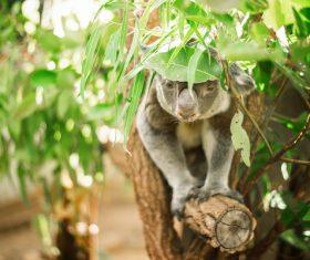 A cute little koala on banyan tree Stock Photo 11