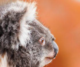 A cute little koala on banyan tree Stock Photo 12