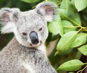 A cute little koala on banyan tree Stock Photo 15