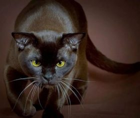 Beautiful Burmese cats Stock Photo (1)