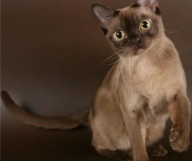 Beautiful Burmese cats Stock Photo (10)