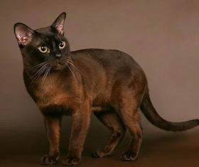 Beautiful Burmese cats Stock Photo (11)