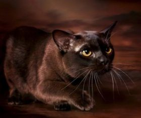Beautiful Burmese cats Stock Photo (12)