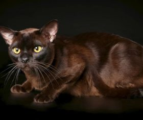 Beautiful Burmese cats Stock Photo (13)