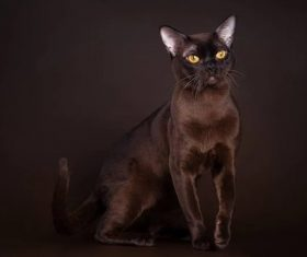 Beautiful Burmese cats Stock Photo (14)
