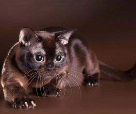 Beautiful Burmese cats Stock Photo (2)