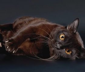 Beautiful Burmese cats Stock Photo (3)