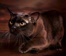 Beautiful Burmese cats Stock Photo (4)