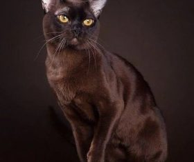 Beautiful Burmese cats Stock Photo (5)